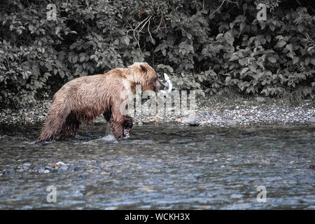 Grizzly Bear with a freshly caught Salmon in its mouth,  in the Nakina River, Ursus arctos horribilis, Brown Bear, North American, Canada, - Stock Photo
