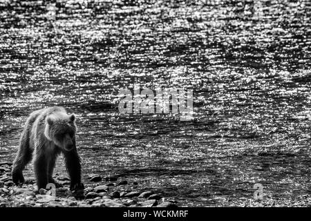 Adult Grizzly Bear walking along a river bank against a river sparkling in the sun, Ursus arctos horribilis, Brown Bear, North American, Canada, - Stock Photo