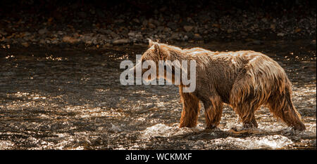 Grizzly Bear in the River Nakina fishing for Salmon, Ursus arctos horribilis, Brown Bear, North American, Canada, - Stock Photo