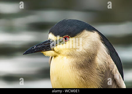 Close-up Of Black Crowned Night Heron Outdoors - Stock Photo