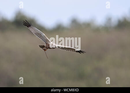 Western Marsh Harrier ( Circus aeruginosus ), adult male, flying, in flight, carrying, holding nesting material in talons, wildlife, Europe. - Stock Photo
