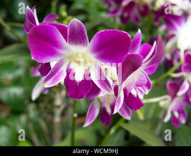 Dendrobium Sonia, National Orchid Garden, Singapore Botanic Gardens, Singapore Stock Photo