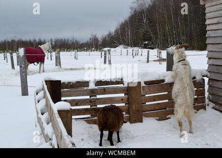 Sheep On Snow Covered Field Against Sky - Stock Photo