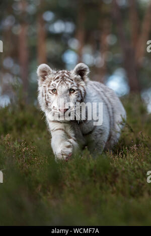 Royal Bengal Tiger ( Panthera tigris ), white animal, secretly sneaking through the undergrowth of natural woodland, frontal shot, low point of view.