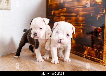 Close-up Of English Bulldog Puppies Standing On Hardwood Floor - Stock Photo