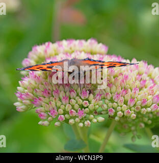 Butterfly, Small, Tortoishell, Aglais,urticae - Stock Photo