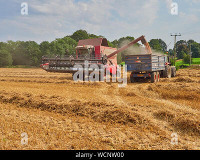 A Massey Ferguson Cerea 7278 combine harvester unloading its tankful of wheat in to a trailer in a field - Stock Photo