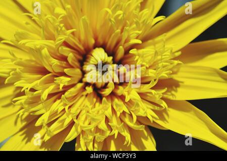 Macro Shot Of Yellow Dahlia Flower - Stock Photo