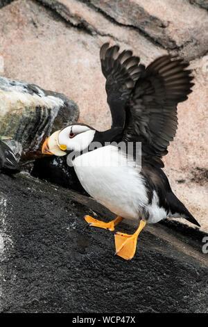 North America; United States; Alaska; Pribilof Islands; St. Paul Island; Wildlife; Birds; Seabirds; Horned Puffin; (Fratercula corniculata) - Stock Photo