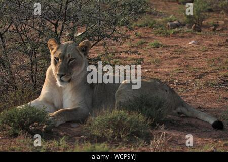 Lioness, Addo Elephant National Park, Eastern Cape, South Africa - Stock Photo