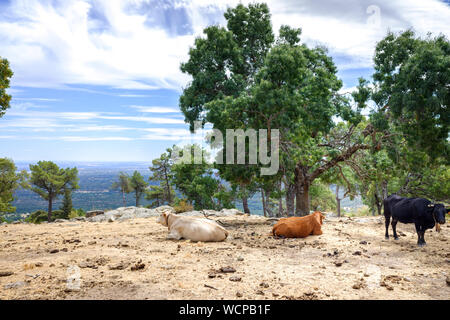 Cows and bulls grazing and resting in a meadow on top of a Spanish mountain. - Stock Photo