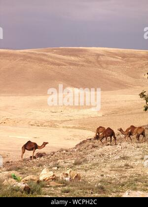 Group Of Camels Grazing In The Desert - Stock Photo