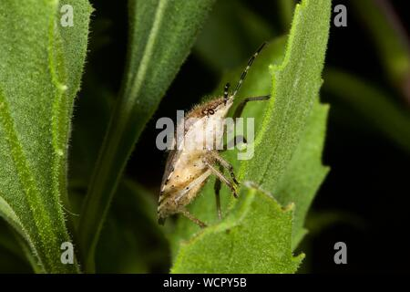 brown marmorated stink bug (Halyomorpha halys) - Stock Photo