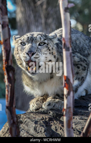 Snow Leopard (Panthera uncia) male standing on rock, captive. - Stock Photo
