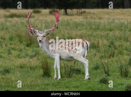 Oh deer! A fallow deer buck looking a little gory after shedding the velvet skin covering from his antlers in preparation for the rutting season at At - Stock Photo