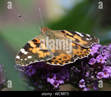 Painted Lady Butterfly (Vanessa cardui) rests on Buddleia - Stock Photo
