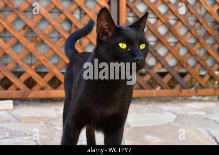 A sleek, beautiful black shorthair stray cat in Athens, Greece. - Stock Photo