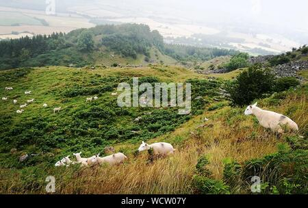 High Angle View Of Sheep Herd Grazing On Mountain - Stock Photo