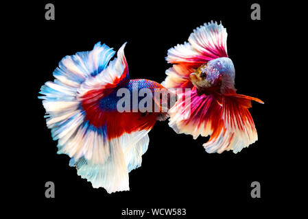 red and blue Thai betta fighting fish with full body top form, Half moon, to fight isolated on black background - Stock Photo
