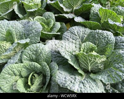 High Angle View Of Kale Growing In Garden - Stock Photo