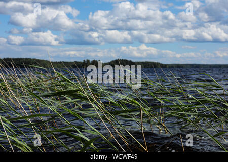 Wind blowing in the reeds of a blue lake - Stock Photo