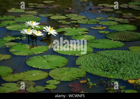 Large white water lilies surrounded by large lily pads - Stock Photo