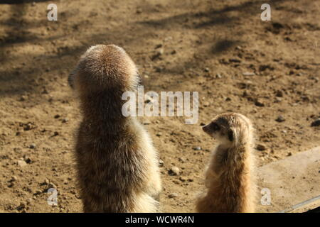 High Angle View Of Meerkats On Sand At Zoo - Stock Photo
