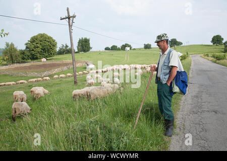 A shepherd looks after his flock of sheep grazing grass by the side of a road in the hills above Fagaras city, Transylvania, Romania - Stock Photo
