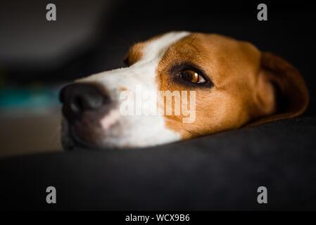 Dog lying on the dark sofa. Canine background - Stock Photo