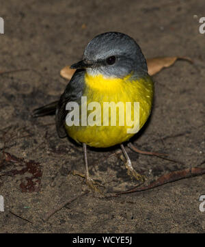 Colourful Australian Eastern Yellow Robin, Eopsaltria australis, on the ground at Watalgans National Park NSW - Stock Photo