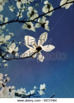 Low Angle View Of Magnolias Blooming Against Clear Blue Sky - Stock Photo