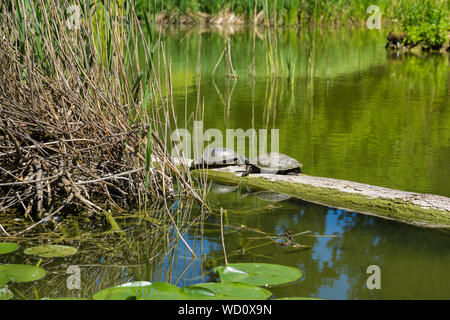 Red Eared Sliders On Fallen Tree In Pond - Stock Photo