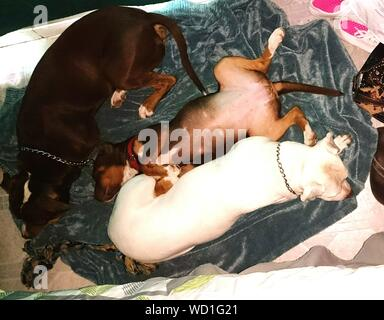 High Angle View Of Dogs Sleeping At Home - Stock Photo