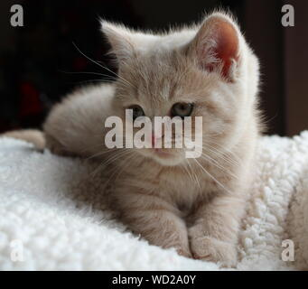 British Shorthair Kitten Relaxing At Home - Stock Photo