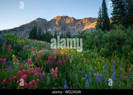 Wildflowers, Albion Basin, Alta, Utah - Stock Photo