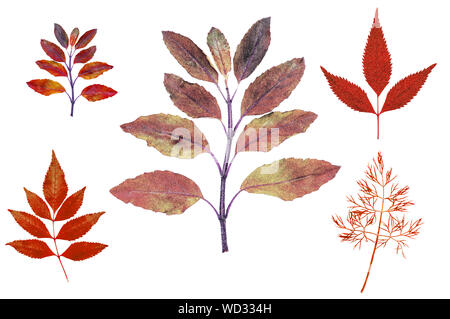 Red autumn leaves illustrate graphic isolated fine edge on white background for design work - Stock Photo