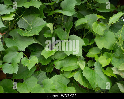 Close up of the bright green leaves of a grapevine photographed at eye level. - Stock Photo