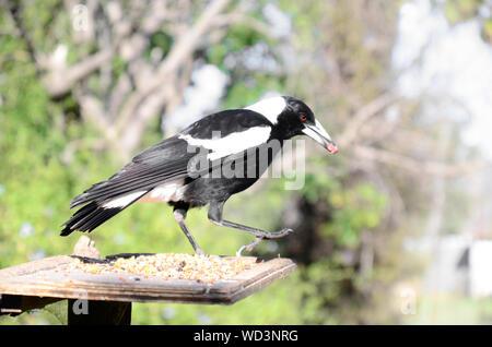 Australian Magpie, Gymnorhina tibicen, eating from a garden feeding tray. - Stock Photo