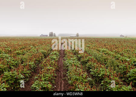 The heavy mist has covered the potato fields in the rural Finland. The distant barn houses stand out in the white landscape. - Stock Photo