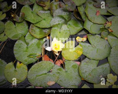 High Angle View Of Lotus Water Lily Blooming In Pond Amidst Leaves - Stock Photo