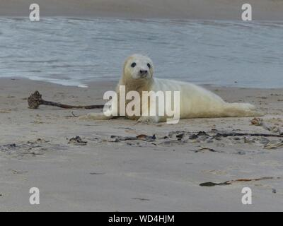 Gray Seal Pup Relaxing On Beach - Stock Photo