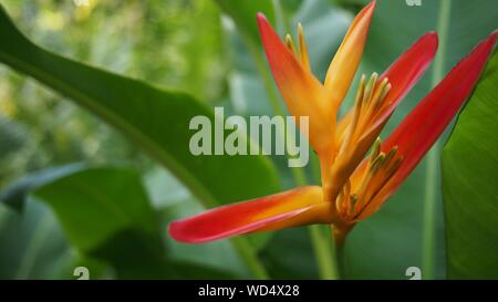 Close-up Of Bird Of Paradise Flower - Stock Photo