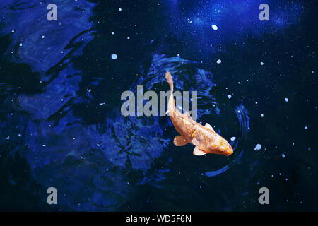 Goldfish in dark blue glowing water, red and yellow japanese koi carp swims in pond close up, abstract golden fish constellation, astrology symbol - Stock Photo