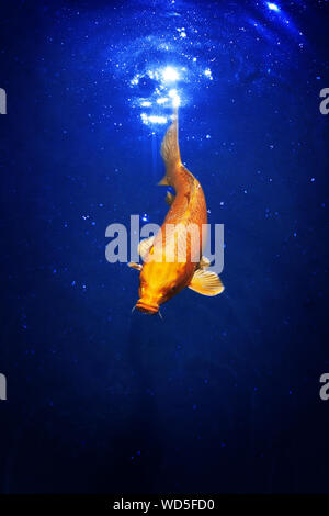 Yellow and red japanese koi carp swims in pond closeup exotic goldfish on dark blue shiny water background beautiful tropical golden fish dives in sea - Stock Photo