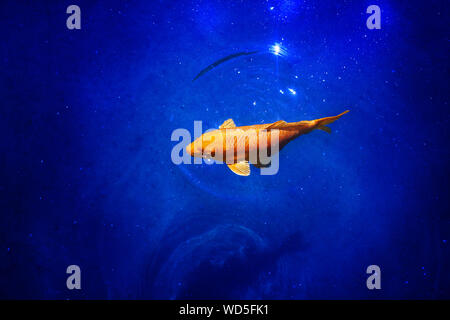 Bright yellow koi carp on dark blue shiny water background close up, exotic goldfish swims in ocean, beautiful tropical golden fish dives deep in sea - Stock Photo