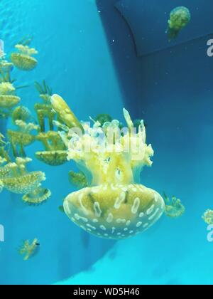 White Spotted Jellyfish At Aquarium - Stock Photo