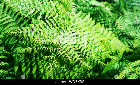 Beautiful natural fern pattern background made from bright green fern leaves. - Stock Photo