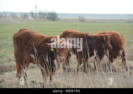 Cows Grazing On Grassy Field - Stock Photo