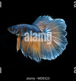 Capture the moving moment of yellow blue siamese fighting fish isolated on black background. Betta fish - Stock Photo