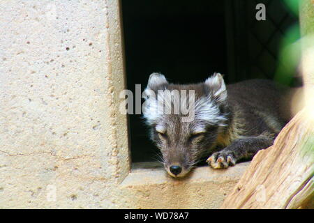 Close-up Of Arctic Fox Pup Sleeping On Window In Zoo - Stock Photo